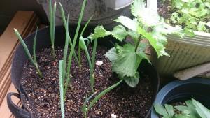 青じそと小ネギ ベランダ菜園
